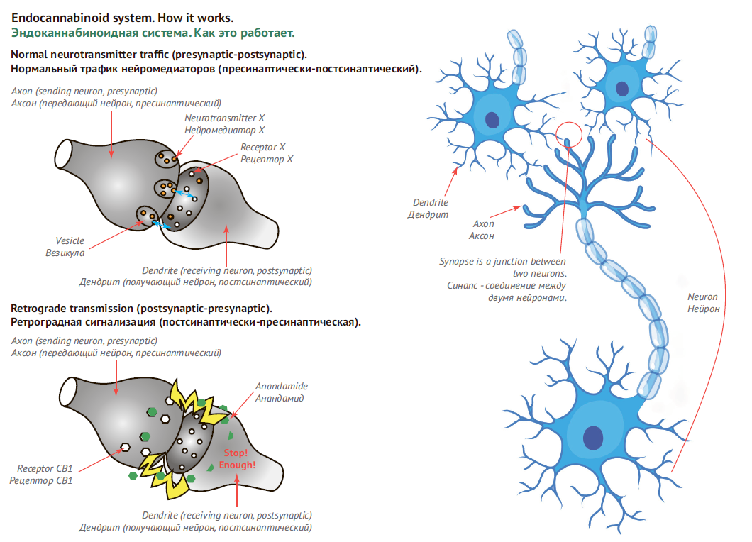 Endocannabinoid system. How it works.